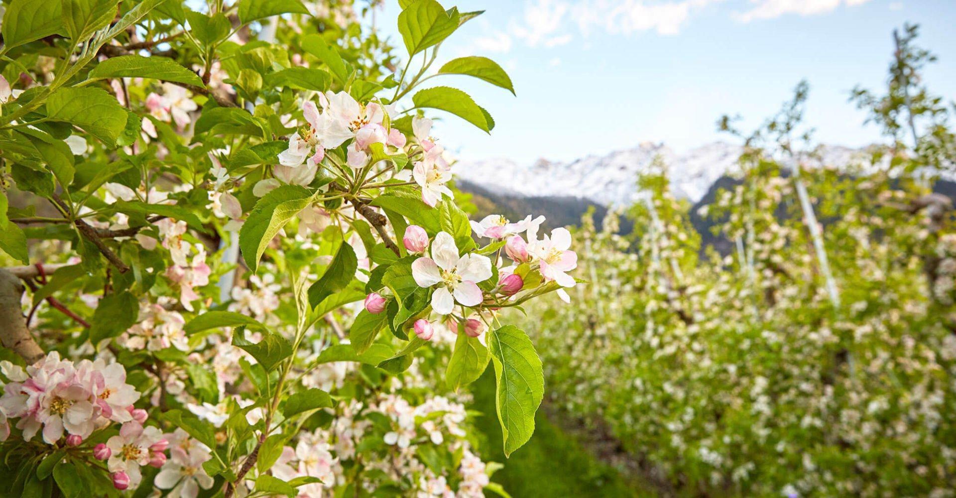 Dolomitenurlaub im Frühling - Blütenpracht in Völs am Schlern